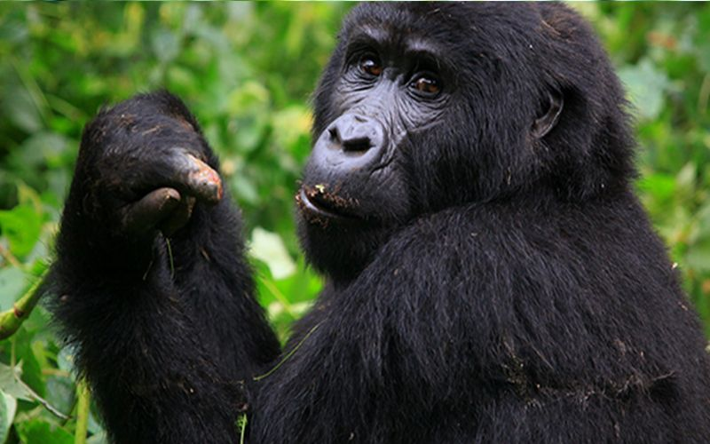 3 days trekking Mountain Gorillas in Rwanda