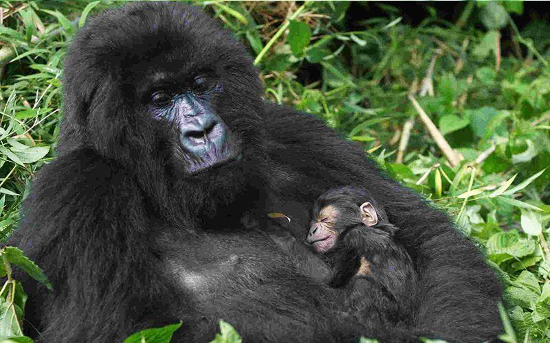 2 Days Gorilla Trekking