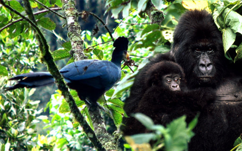 3 days Gorillas Trekking and Birding
