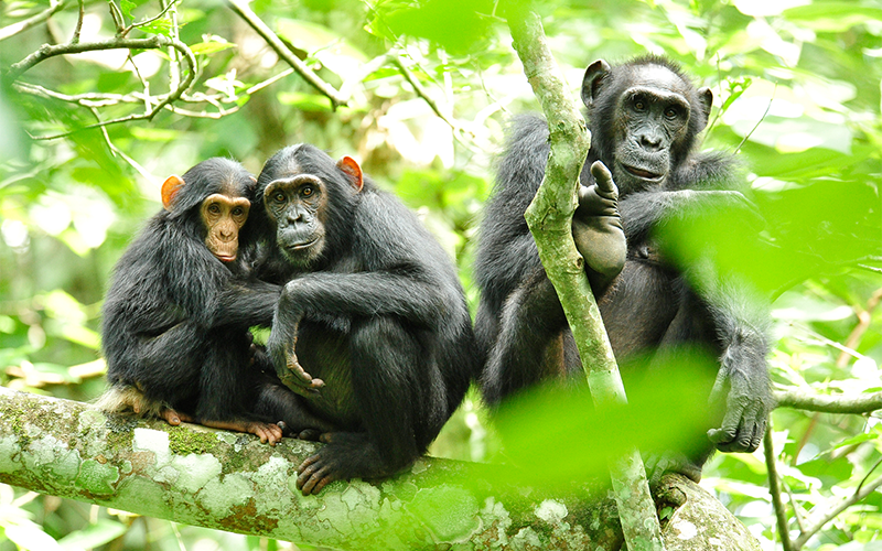 4 days Chimpanzee and Gorilla Trekking Rwanda