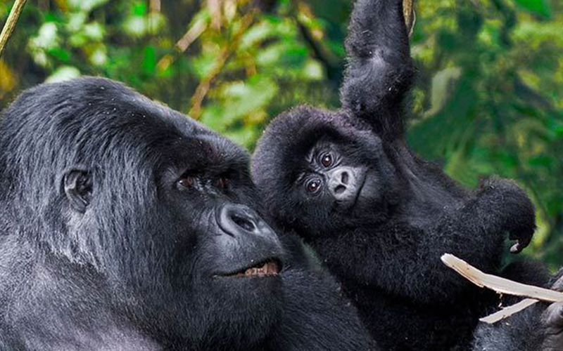 7 days Gorilla and Chimps Rwanda Luxury Tour