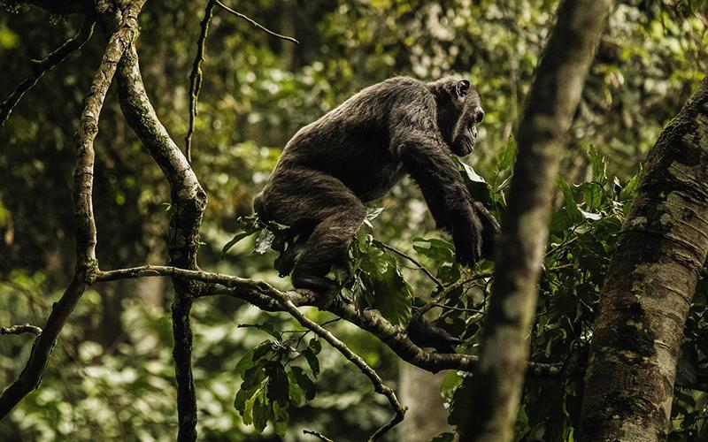 6 days Chimpanzees Trekking & Rwanda tour